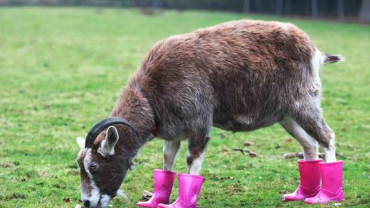 goat in wellies